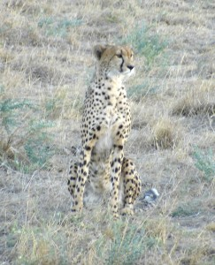 Kenya Cheetah