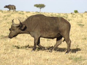 Kenya Water Buffalo
