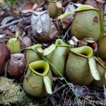 bako-pitcher-plants