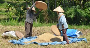 Bali Rice Harvesting