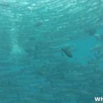 Sipadan Barracuda